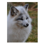 Beautiful White Swift Fox Postcard