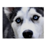 Blue Eyed Husky  Postcard