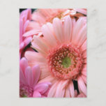 Colorful Daisies Postcard