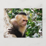 Costa Rican Monkey Postcard