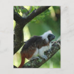 Cotton Topped Tamarin Postcard