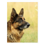 Cute German Shepherd  Postcard