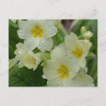 Dew on White and Yellow Primrose Postcard