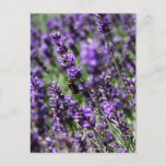 Lavender Fields Postcard