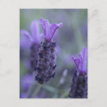 Lavender Flower Photo Postcard