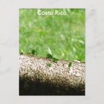 Leaf Cutter Ants in Costa Rica Postcard