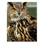 Long Eared Owl Postcard