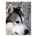 Malamute Photo Postcard