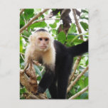 Monkey in Costa Rica Postcard