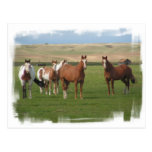 Quarter Horse Herd Postcard