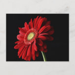 Red Gerber Daisy Postcard
