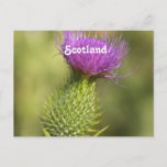 Scotland Thistle Postcard